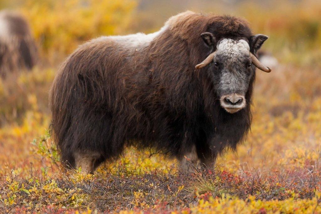 Уже этой осенью на Таймыре появится ферма овцебыков