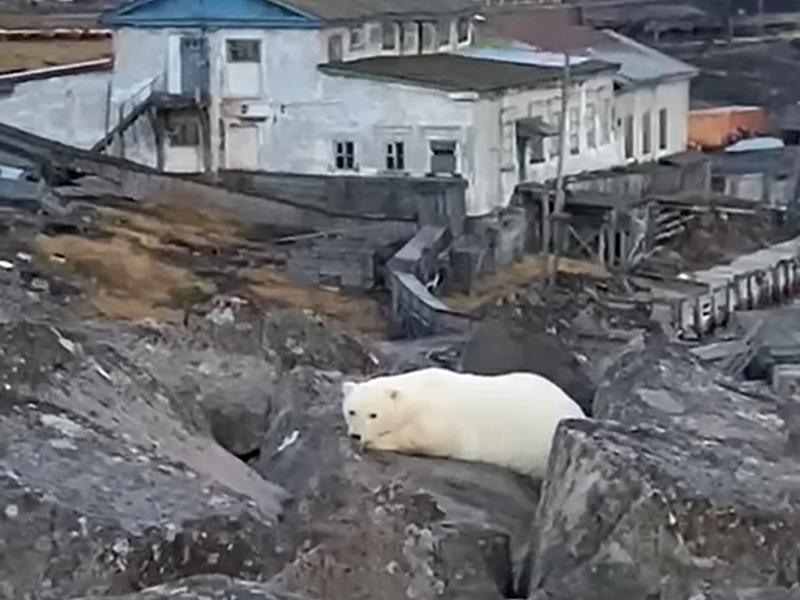 На Диксоне бродит одинокий белый медвежонок
