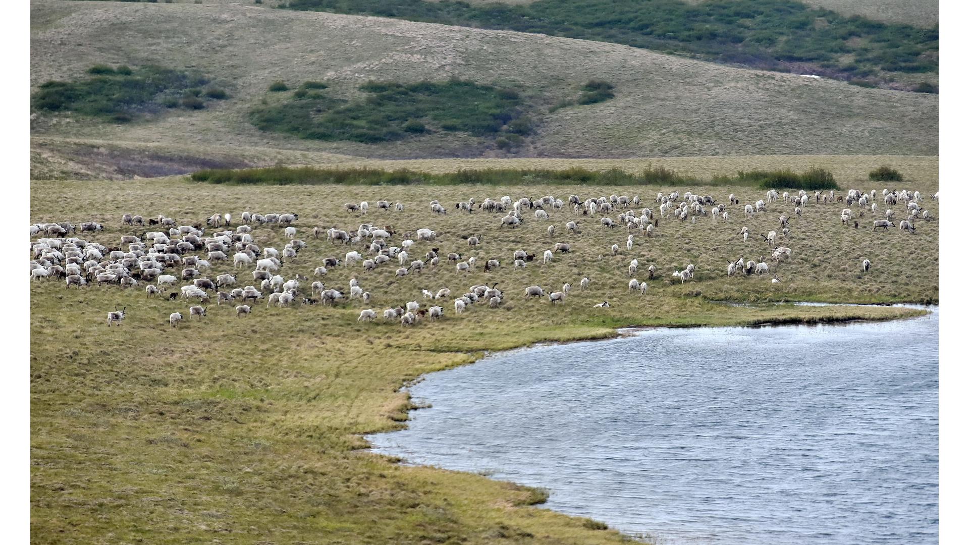 Спутниковые ошейники помогут отслеживать пути миграции северных оленей