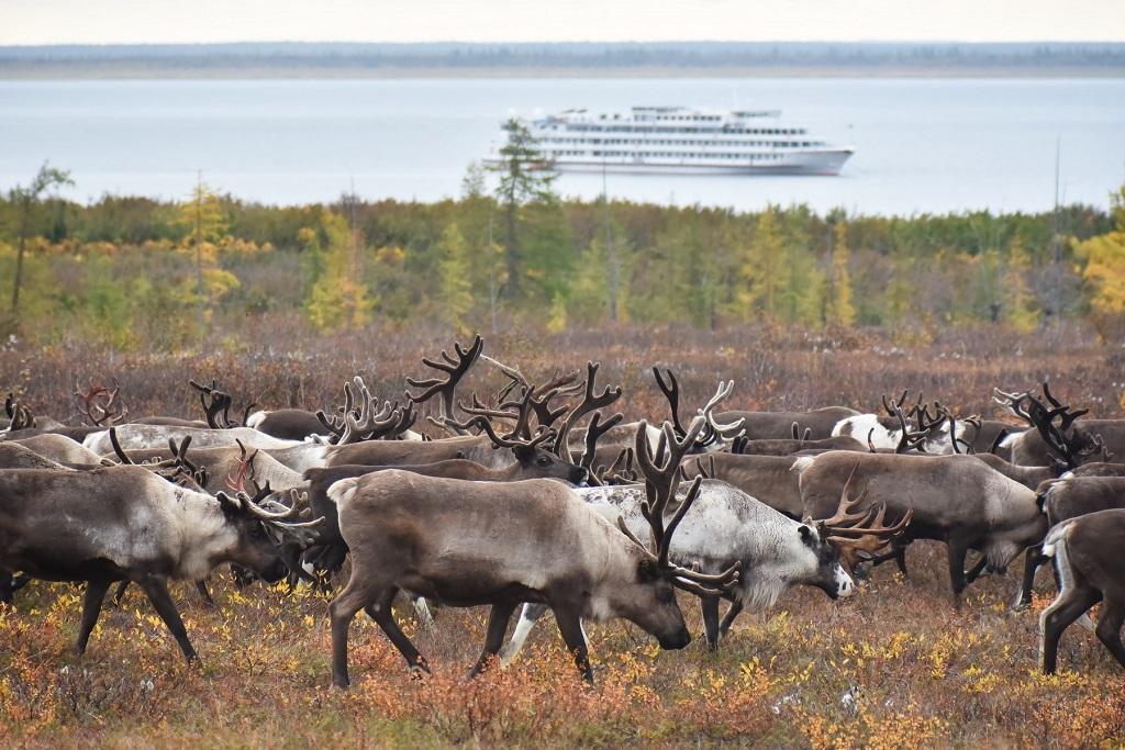 На Таймыре посчитают поголовье дикого северного оленя