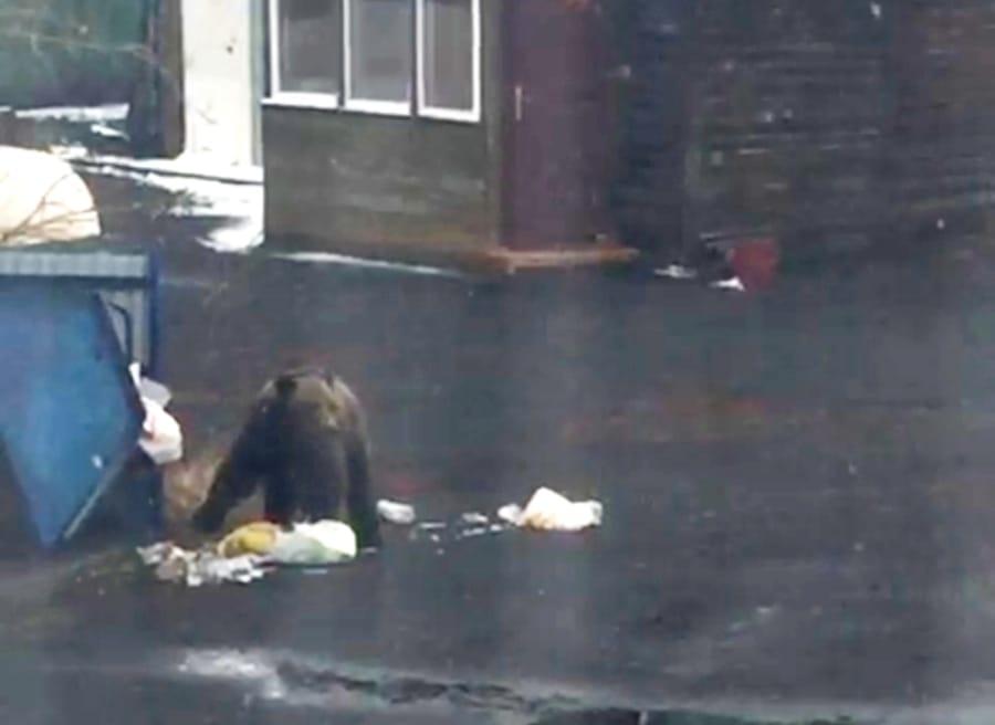 В соцсетях норильчане сообщают о появлении медведя в районе турбазы «Жарки»