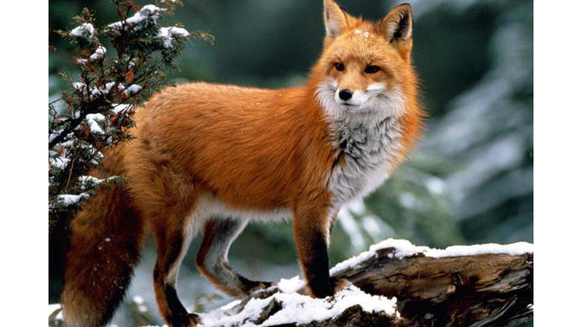 В лесах Красноярского края началась вакцинация животных от бешенства