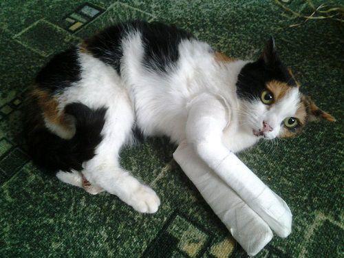 Норильчане могут спасти Кисуню. Благотворительный фонд помощи бездомным животным «Даря надежду» просит горожан оказать помощь в лечении травмированной кошки.