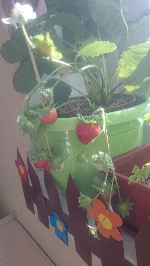 Урожай клубники собрали в норильском детском саду № 99 «Топ-топ».