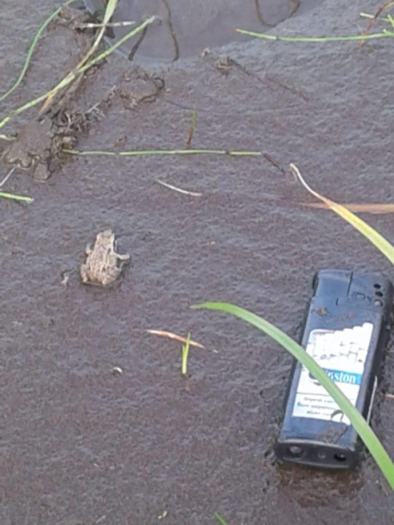Фотоохота на редкие виды животных и растений открыта. На Таймыре впервые зафиксировали появление остромордой лягушки.