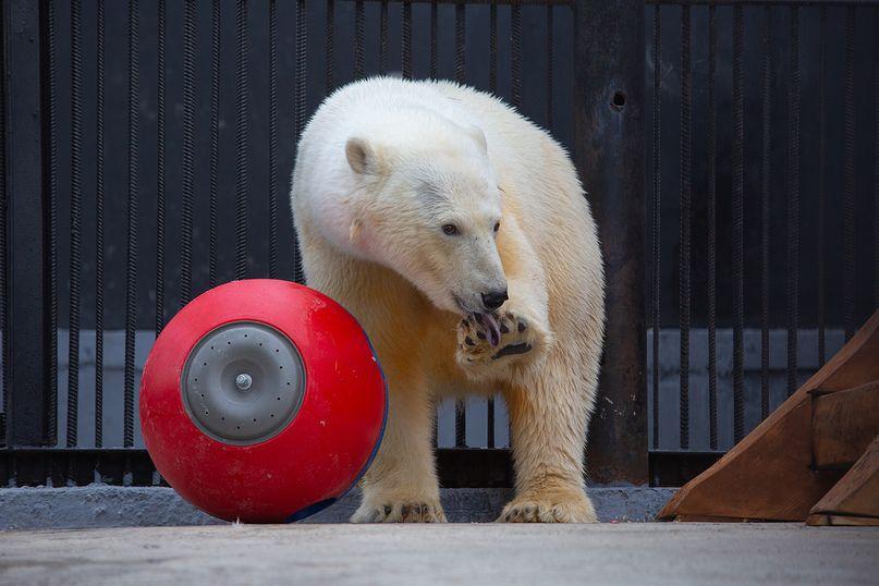 Выбираем имя мишке. «Роснефть» совместно с красноярским парком флоры и фауны «Роев ручей» объявляют конкурс на лучшее имя для спасенной в Норильске белой медведицы.