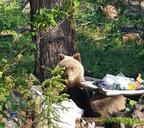 Хозяин тайги не оставляет Норильск без внимания. На выходных туристы встретили бурого медведя на Красных камнях.